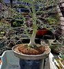 The Bonsai Blog of Hans van Meer
