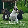 T-Luxe Premier French Bulldog Breeders - Blog