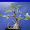 Bonsaihunk's Blog | Fig trees and tropicals as bonsai