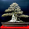 Bonsai South