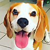 Louie The Beagle - The most famous beagles in the world!