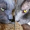 Jericho & Thunder The 2 Gray Cats