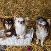 Haus of Chihuahuas - Blog