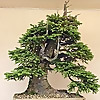 Willowbog Bonsai
