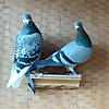 The Pigeon Loft