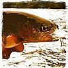 The Caddis Fly   Oregon Fly Fishing Blog